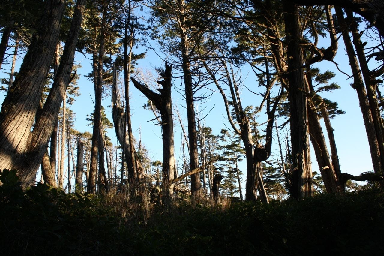dead old growth forest